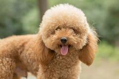 Toy Poodle On Grassy Field imagem de stock royalty free