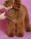 Toy Poodle grooming. Grooming the Toy Poodle, it stand on table Stock Photos