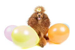 Toy poodle with inflatable balloons Royalty Free Stock Images