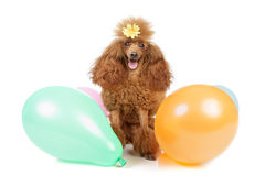 Toy poodle with inflatable balloons Stock Images