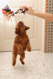 Toy Poodle jump. A young toy poodle puppy with jumping for joy with for her chew toy Royalty Free Stock Images