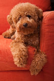 Toy Poodle lazing on Sofa stock photography