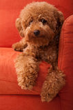 Toy Poodle lazing on Sofa 2 Royalty Free Stock Photo