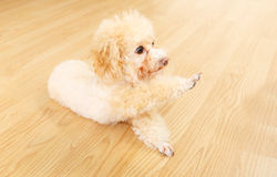 Toy poodle lying on floor and giving hand. At home Stock Photos