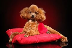 Toy Poodle lying on a red pillow. Beautiful young Toy Poodle lying on a red pillow royalty free stock photo