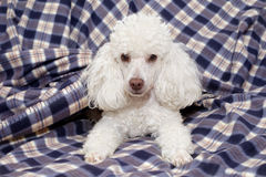 Toy poodle lying on a sofa Royalty Free Stock Image