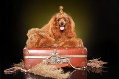 Toy poodle lying on suitcase. Toy poodle posing on suitcase on dark-yellow background royalty free stock photo