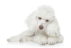 Toy poodle lying on white Stock Images