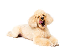 Toy poodle lying and yawning tongue hanging out