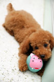 Toy Poodle at Play 2. A young toy poodle puppy at play with its favourite bunny rabbit chew toy Royalty Free Stock Photo