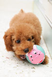 Toy Poodle at Play 2 Stock Photos