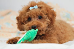 Toy Poodle at Play 3. A young toy poodle puppy with a bow tie at play with its favourite frog chew toy Stock Photo