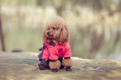 Toy Poodle playing in a park. Stock Photo