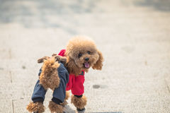 Toy Poodle playing in a park. Royalty Free Stock Images