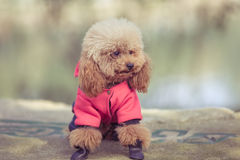 Toy Poodle playing in a park Royalty Free Stock Photography
