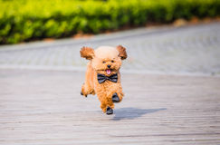 Toy Poodle playing in a park Stock Photo