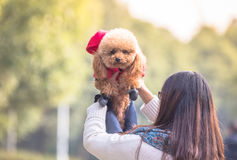 Toy Poodle playing in a park Royalty Free Stock Images