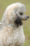 Toy poodle portrait Royalty Free Stock Images
