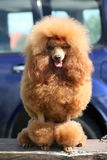 Toy Poodle portrait Stock Image