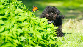 Toy poodle pup and butterfly. Cute image of an adorable seven month old black toy poodle puppy looking happily at the camera from behind a garden, pleased that royalty free stock images