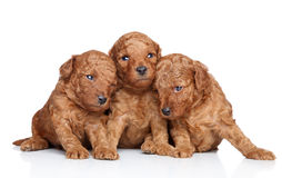 Toy-poodle puppies (20 days) on a white background stock photos