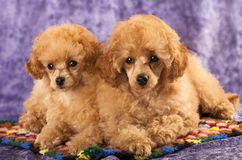 Toy Poodle puppies Stock Photo