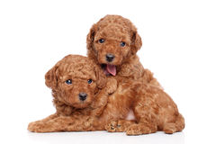 Toy-poodle puppies (30 days) on a white background Stock Photo