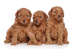 Toy-poodle puppies (30 days) on a white background royalty free stock images