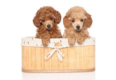 Toy poodle puppies in basket Royalty Free Stock Photo