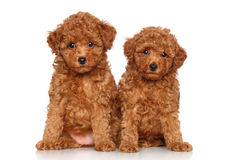 Free Toy Poodle Puppies Portrait Royalty Free Stock Images - 25801579