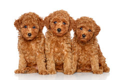 Toy Poodle puppies on a white background royalty free stock photos