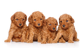 Toy poodle puppies on a white background Stock Image