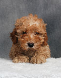 Toy Poodle Puppy. An apricot toy poodle puppy stock photo