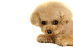 Toy poodle puppy stock photo