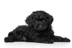 Toy Poodle Puppy Stock Images