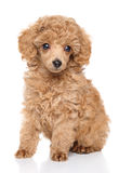 Toy Poodle puppy. Apricot toy Poodle puppy sits in front of white background royalty free stock photos