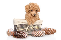 Toy Poodle puppy in basket. Apricot Toy Poodle puppy sits in wicker basket on a white background royalty free stock images
