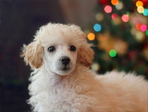 Toy Poodle puppy on Christmas Stock Image