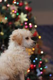 Toy Poodle puppy on Christmas royalty free stock photos