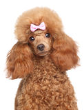 Toy poodle puppy close-up portrait Royalty Free Stock Photography