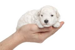 Toy poodle puppy in hands Stock Photo