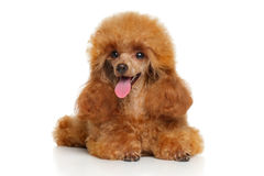 Toy poodle puppy lying Stock Image
