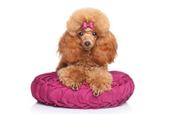 Toy poodle puppy lying on pillow Royalty Free Stock Photography