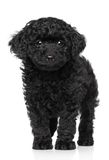 Toy poodle puppy over white background royalty free stock photos