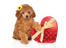 Toy Poodle puppy with red heart. On a white background. Baby animal theme stock photo