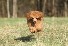 Toy poodle puppy running. Playful Toy poodle puppy running royalty free stock photos