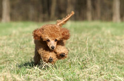 Toy poodle puppy running. Playful red toy poodle puppy running stock images