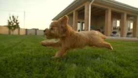Toy poodle puppy running at the yard at slow motion, 200fps