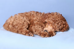 Toy Poodle Puppy sleep. Red Toy Poodle Puppy sleep on blue background Royalty Free Stock Photography