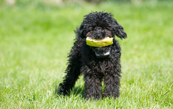 Toy poodle puppy with watermelon. Stock Image